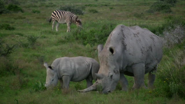 HD 1080i Rhinoceros 7