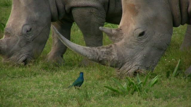 1080i rhinocerous eating and bird - horned stock videos & royalty-free footage