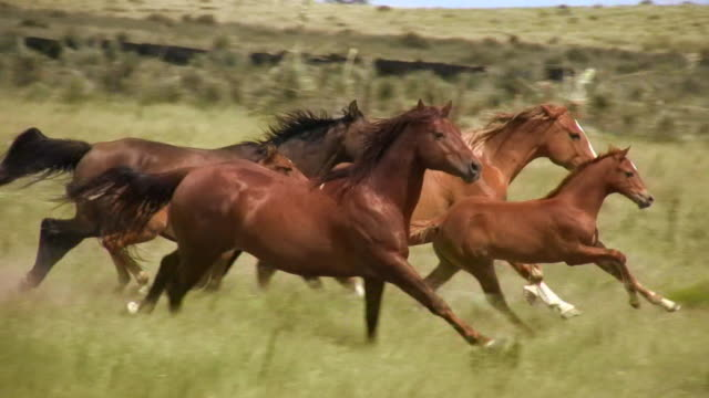 hd 1080i wild horses - herding stock videos & royalty-free footage