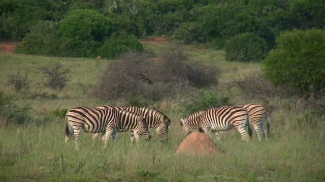 vidéos et rushes de 1080 i zèbres sur game reserve en afrique du sud - petit groupe d'animaux