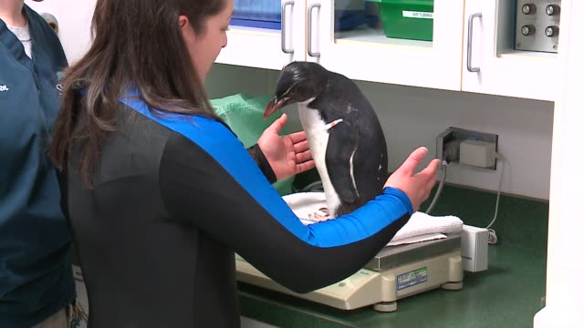 wgn 10monthold rockhopper penguin chick gets a checkup at shedd aquarium in chicago on april 22 2016 - shedd aquarium stock videos and b-roll footage