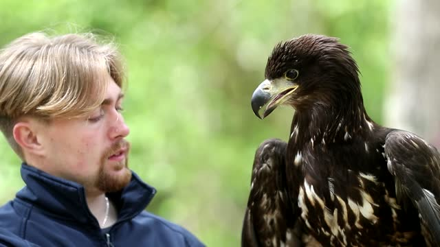 month-old white-tailed sea eagle called chief is the latest of the extremely rare birds of prey to arrive on the isle of wight after the species... - bird of prey stock videos & royalty-free footage