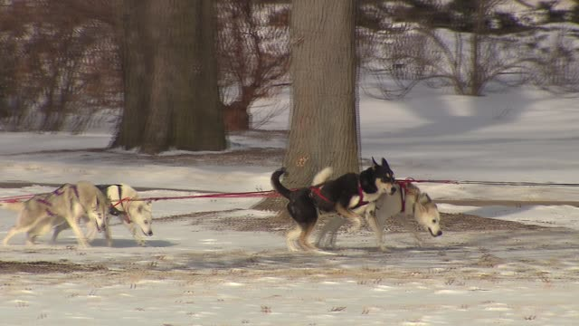 wgn 10th annual husky heroes event honors siberian huskies and dog sledding at the morton arboretum on in lisle illinois - beruflicher umgang mit tieren stock-videos und b-roll-filmmaterial