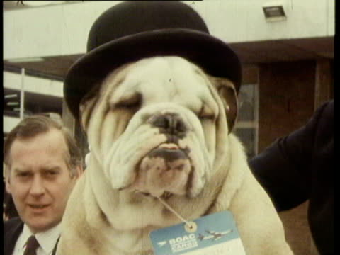 11may1970 montage england bulldog mascot / united kingdom - english culture stock videos & royalty-free footage