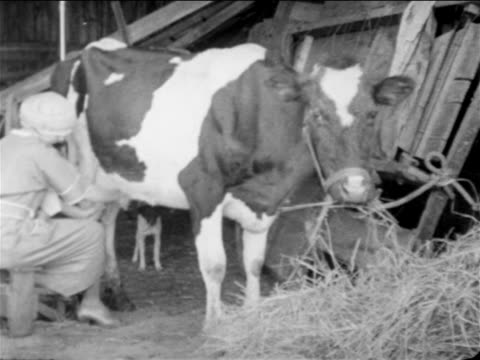 b/w 1900s cow chewing hay in barn as woman milks her / documentary - milchprodukte stock-videos und b-roll-filmmaterial