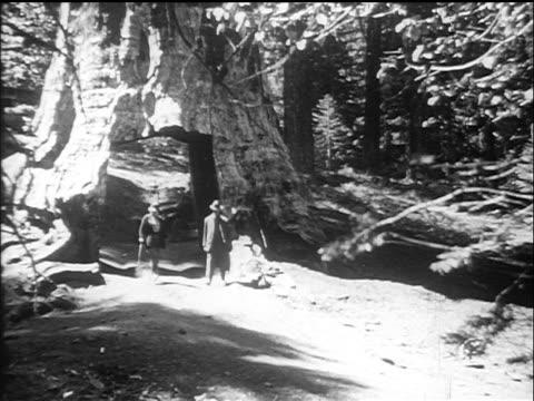 vídeos de stock, filmes e b-roll de b/w 1910s cars driving thru hole cut into large redwood tree (california?) / documentary - sequoia sempervirens