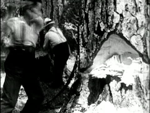 vidéos et rushes de b/w 1910s male lumberjacks with axes chop at large trees / newsreel - bûcheron