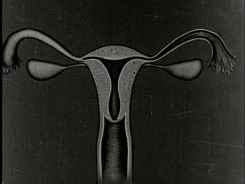 1920s B/W CU, Anatomical animated diagram of woman's reproductive system