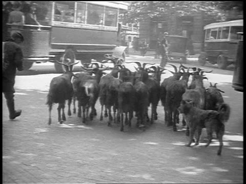 vídeos de stock e filmes b-roll de b/w 1920s rear view man with herd of goats walking on city street / paris, france / documentary - pastorear