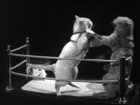 vídeos de stock, filmes e b-roll de b/w 1930s 2 cats with gloves boxing in miniature boxing ring - dois animais