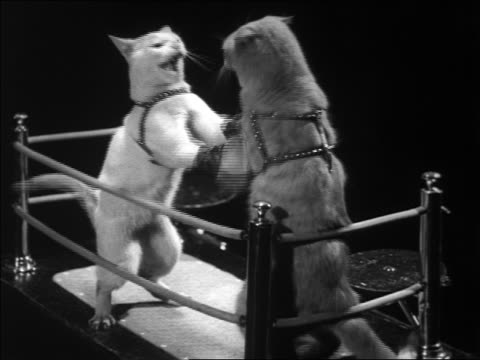 b/w 1930s 2 cats with gloves boxing in miniature boxing ring - conflittualità video stock e b–roll