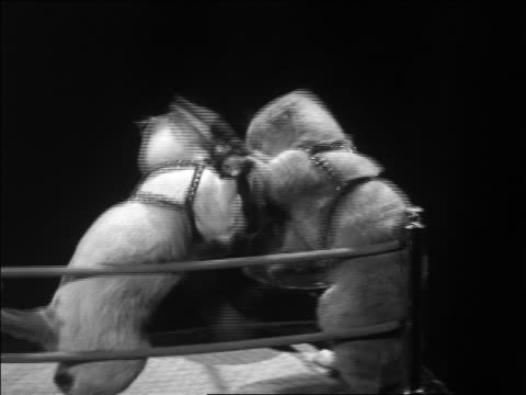 B/W 1930s 2 cats with gloves boxing in miniature boxing ring