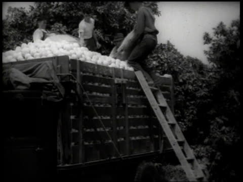 1930s WS Man climbing ladder to empty bag of harvested grapefruit into truck / United States