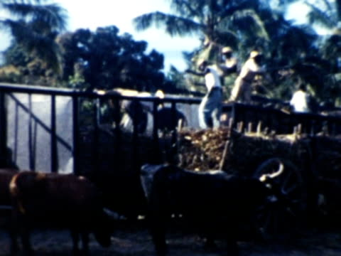 vidéos et rushes de 1930s montage local farmers working and loading up hay carts pulled by oxen / haiti - antilles occidentales