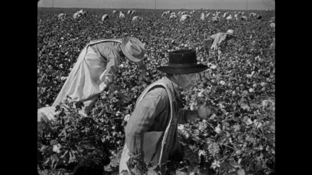 1940s Black and white farm hands pick cotton under a hot sun