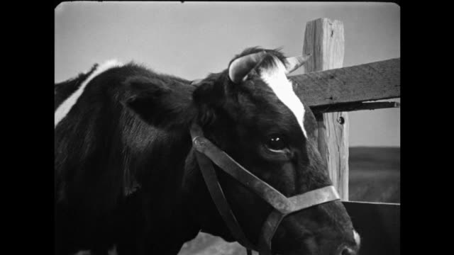 1940s cu cow being milked, as dog watches udders - cow stock videos & royalty-free footage