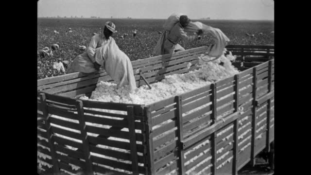 1940s farm hands weigh and deposit cotton in back of wagon - cotton plant stock videos and b-roll footage