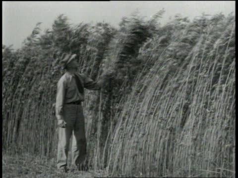 1940s WS inspector examining tall hemp plants / Kentucky, United States