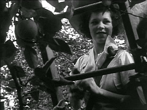 B/W 1940s low angle below ladder of woman in hat picking apples in orchard