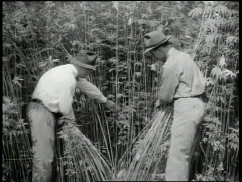 1940s MONTAGE farmers displaying their crop of hemp / United States