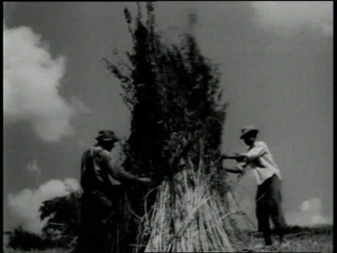 1940s MONTAGE Farmers piling and shocking hemp / Kentucky, United States