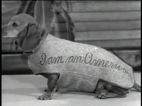 1940s MONTAGE patriotic dogs wearing costumes / United States