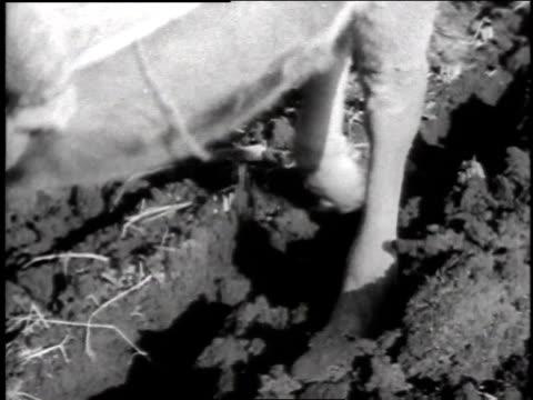 1940s cu ox pulling plow / japan - pflug stock-videos und b-roll-filmmaterial