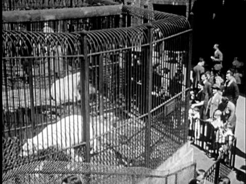b/w montage 1940s people looking at polar bears in cage at zoo / new york city, new york - zoo stock videos & royalty-free footage
