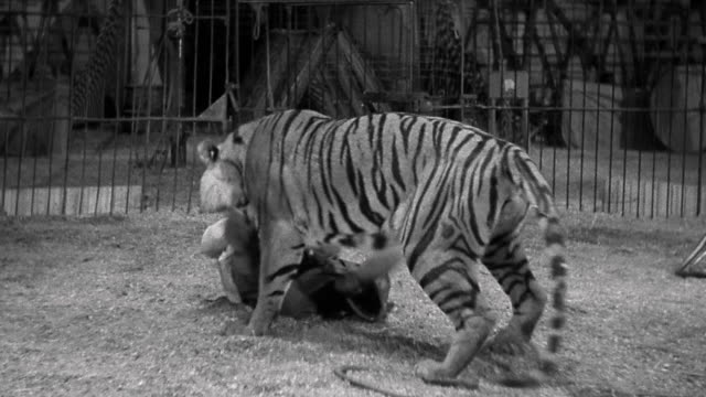 1940s wide shot tiger attacking man and biting him inside circus ring