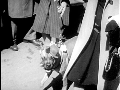 B/W CU MONTAGE 1940s Woman walking boxer in hat / New York City, New York