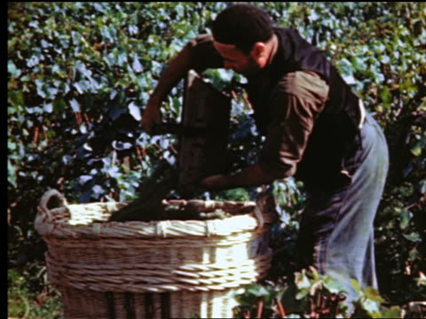 vidéos et rushes de 1940s/50s profile man pouring small baskets of grapes into large basket in vineyard / (epernay?) france - vignoble