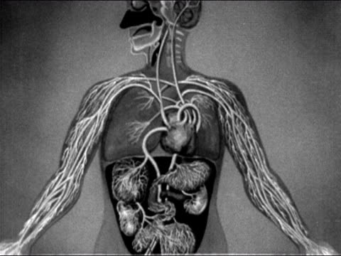 1950s Animation showing network of capillaries spreading through arms of human anatomical model / AUDIO