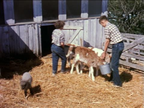 1950s boy + girl feeding calves in pen on farm / educational