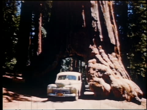 1950s car driving through hole cut through tree in Northern California