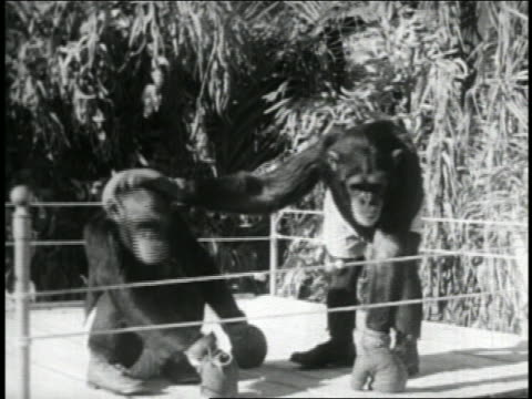 B/W 1950s chimpanzee slapping other chimp on head with boxing glove outdoors / newsreel