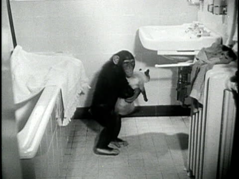 1950s FILM MONTAGE MS Woman drying chimp on bathroom sink/ MS Chimp picking up cat and climbing up on sink/ CU Chimp turning on water/ WS Chimp washing cat/ CU Bell ringing/ WS Chimp pushing cat off of sink