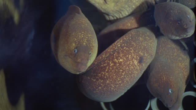 1950s montage moray eels in tank - group of animals stock videos & royalty-free footage