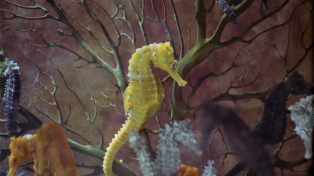 1950s montage sea horses in tank - seahorse stock videos & royalty-free footage