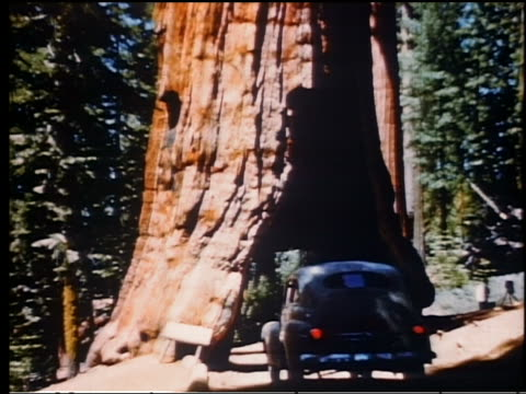 1950s REAR VIEW car driving through hole cut through tree in northern California