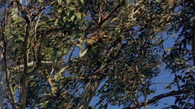 1960s ws la tu koala bear climbing up tree / australia - よじ登る点の映像素材/bロール