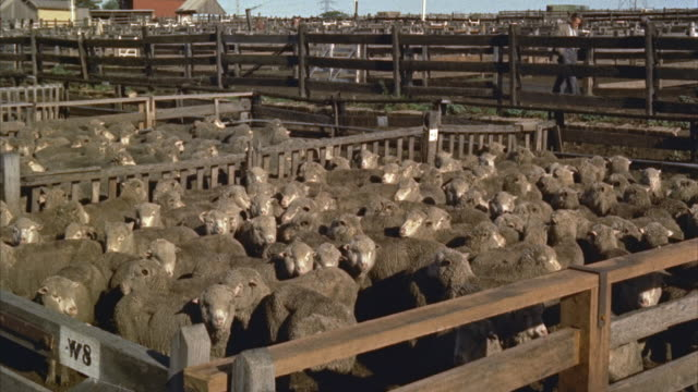 1960s ws sheep in pen - animal pen stock videos & royalty-free footage