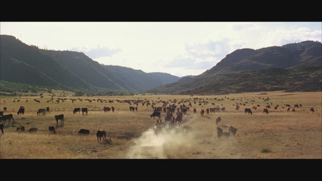 1970s ws ha large herd of cattle with people riding in cart in distance - 牧畜場点の映像素材/bロール
