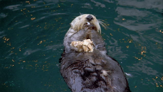 1990s high angle close up otter eating crab while swimming on its back