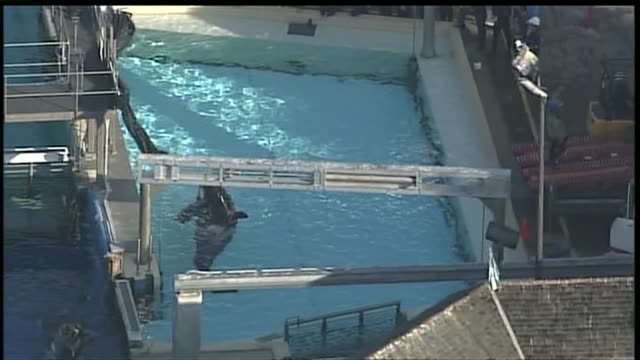 kswb a 19yearold female orca named shouka arrived at seaworld from northern california on august 20 2012 in san diego california - killer whale stock videos & royalty-free footage