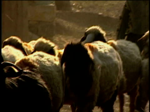 1st jun 2000 cu zo pan ws boy herding sheep in village / village of najar, kurdistan, iran - herder stock videos & royalty-free footage