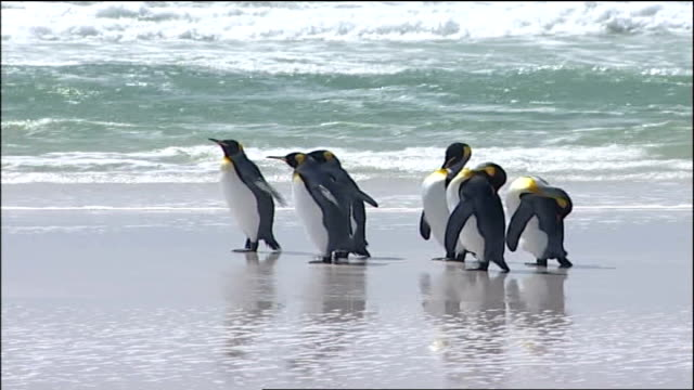interview with new residents sequence with music of gentoo penguins on rocky shore magellanic penguins on beach rockhopper penguins preening king... - moderne rockmusik stock-videos und b-roll-filmmaterial