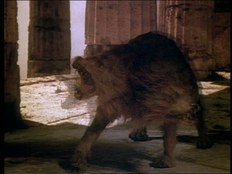 2-headed wolf barking - classical greek style stock videos & royalty-free footage