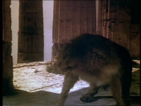 2-headed wolf barking - greek mythology stock videos and b-roll footage