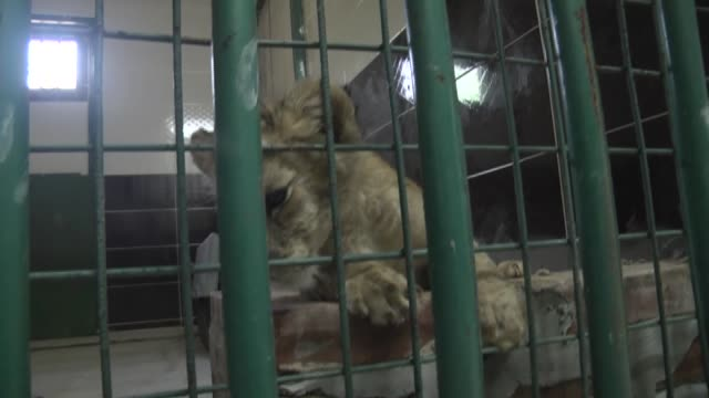 A 2monthold lion cub is seen in a cage after it was caught in Cizre district of Sirnak in Gaziantep Turkey on August 23 2017 The 2monthold baby lion...