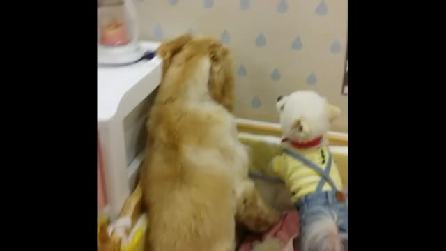 2yearold monica the afghan hound hides in the corner as a feisty little pomeranian decides to bark at her for no reason at all hilarious - hound stock videos & royalty-free footage